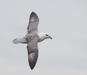 Noordse Stormvogel (Luc Hoogenstein)
