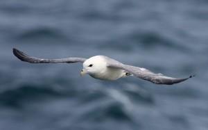 Noordse Stormvogel (Bart Vastenhouw)
