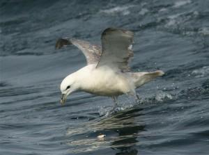 Noordse Stormvogel (Ricardo van Dijk)