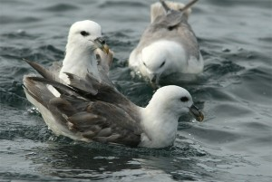 Noordse Stormvogels (Ricardo van Dijk)