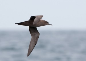 Grauwe Pijlstormvogel (Luc Hoogenstein)
