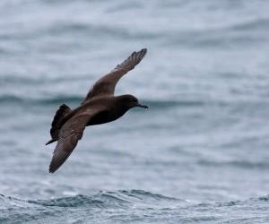 Grauwe Pijlstormvogel (Bart Vastenhouw)