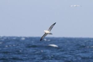 Noordse stormvogel (Maarten Immerzeel)