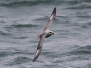 Dubbeldonkere Noordse Stormvogel (Foto: Ricardo van Dijk)