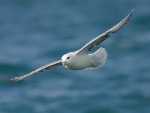 Noordse Stormvogel (Foto: Peter Soer)
