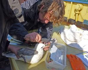 ringen Noordse Stromvogel (Foto: Rob Koelman)