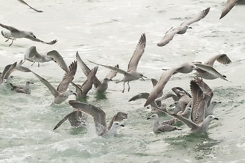 meeuwen achter de boot (Foto: Oscar Balm)