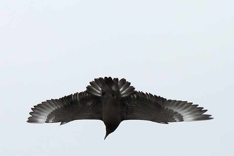 Middelste Jager (Foto: Oscar Balm)