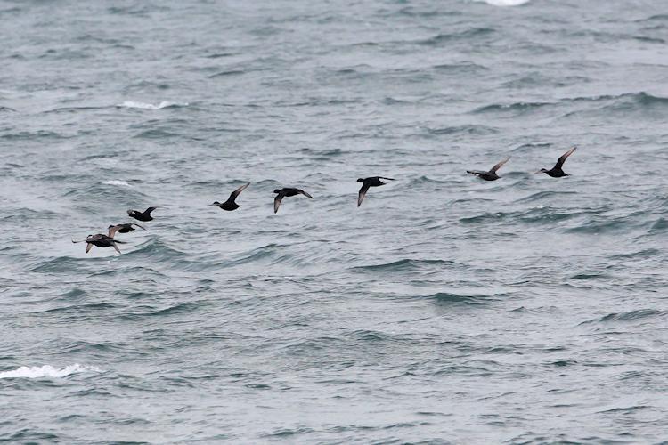 Zwarte Zee-eend (Jan Dekker)