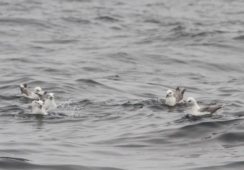 Noordse Stormvogels poedelend in de prut (Ricardo van Dijk)