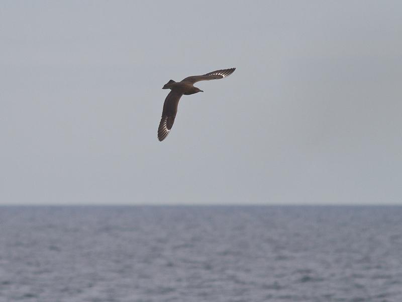 Grote Jager (Foto: Sjaak Schilpenoord)