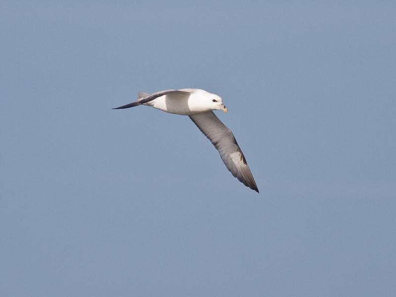 Noordse Stormvogel (Foto: Sjaak Schilpenoord)