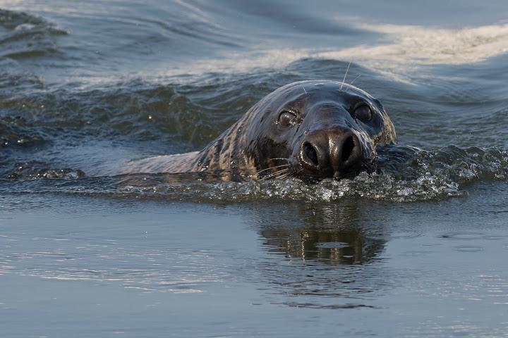 """Grijze Zeehond """"Bertus"""" een vaste gast in de haven (foto: © Hans van Zummeren)"""
