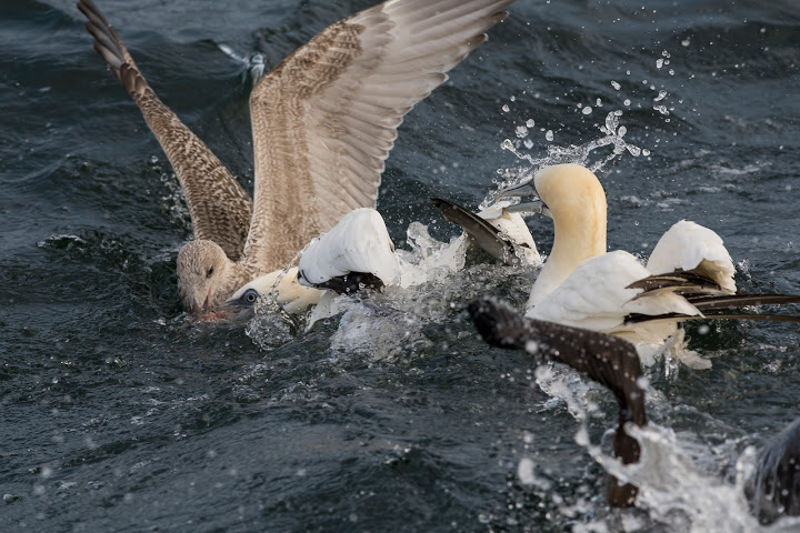 Jan-van-Genten vechten om chum (foto: © Hans van Zummeren)