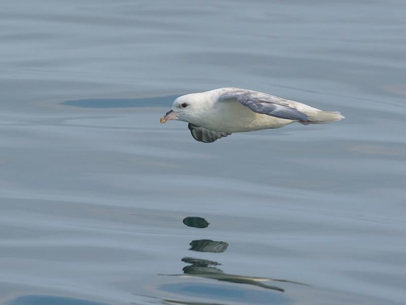 Noordse Stormvogel (foto: Hanno Steenbergen)
