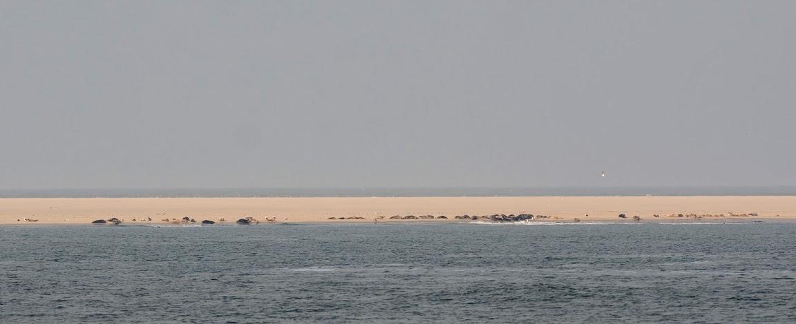 Zeehonden op de Razende Bol (foto: © Hans van Zummeren)